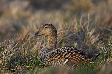 Common Eider (Somateria mollissima) female incubating, Iceland  -  Cyril Ruoso