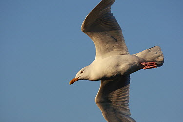 Glaucous Gull (Larus hyperboreus) flying, West Fjords, Iceland  -  Cyril Ruoso