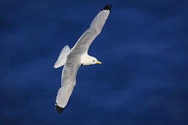 Black-legged Kittiwake (Rissa tridactyla) flying, Latrabjarg Cliff, West Fjords, Iceland  -  Cyril Ruoso
