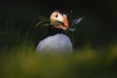 Atlantic Puffin (Fratercula arctica) with nesting material, Latrabjarg Cliff, West Fjords, Iceland  -  Cyril Ruoso