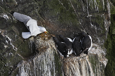 Brunnich's Guillemont (Uria lomvia) and Common Murre (Uria aalge) group squabbling, Latrabjarg Cliff, West Fjords, Iceland