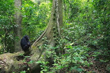 Eastern Chimpanzee (Pan troglodytes schweinfurthii) in Gombe National Park, Tanzania  -  Cyril Ruoso
