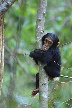Eastern Chimpanzee (Pan troglodytes schweinfurthii) young holding a tree, Gombe National Park, Tanzania  -  Cyril Ruoso