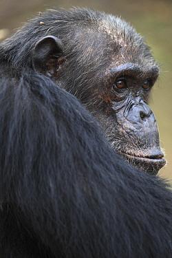 Eastern Chimpanzee (Pan troglodytes schweinfurthii), older male, Gombe National Park, Tanzania  -  Cyril Ruoso