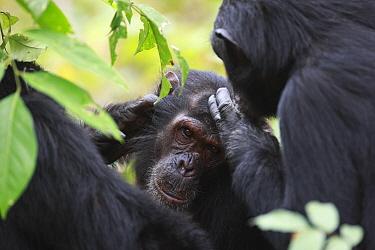 Eastern Chimpanzee (Pan troglodytes schweinfurthii) pair grooming, Gombe National Park, Tanzania  -  Cyril Ruoso
