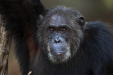 Eastern Chimpanzee (Pan troglodytes schweinfurthii) male portrait, Gombe National Park, Tanzania  -  Cyril Ruoso
