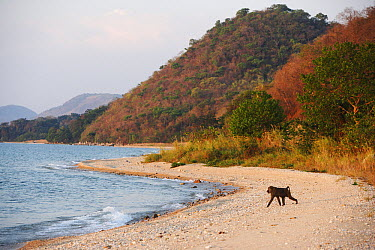 Olive Baboon (Papio anubis) on the shore of Lake Tanganyika, Gombe National Park, Tanzania  -  Cyril Ruoso