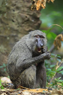 Olive Baboon (Papio anubis) cracking palm nuts with teeth, Gombe National Park, Tanzania  -  Cyril Ruoso
