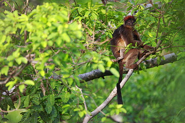 Western Red Colobus (Procolobus badius) male, Gombe National Park, Tanzania  -  Cyril Ruoso