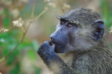 Olive Baboon (Papio anubis) young eating nut, Gombe National Park, Tanzania  -  Cyril Ruoso
