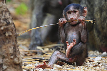 Olive Baboon (Papio anubis) baby playing with grass, Gombe National Park, Tanzania  -  Cyril Ruoso