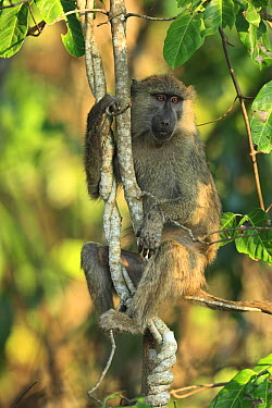 Olive Baboon (Papio anubis) in tree, Gombe National Park, Tanzania  -  Cyril Ruoso