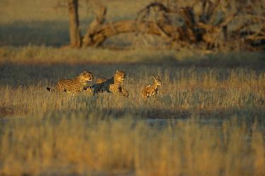 Cheetah (Acinonyx jubatus) group hunting baby Springbok (Antidorcas marsupialis), Kgalagadi Transfrontier Park, South Africa  -  Richard Du Toit