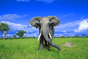 African Elephant (Loxodonta africana) bull, Chobe National Park, Botswana
