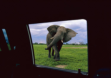 African Elephant (Loxodonta africana) bull seen from automobile, Chobe National Park, Botswana  -  Richard Du Toit