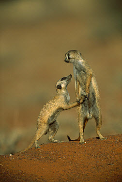 Meerkat (Suricata suricatta) pair on hind legs, Tswalu Kalahari Reserve, South Africa  -  Richard Du Toit