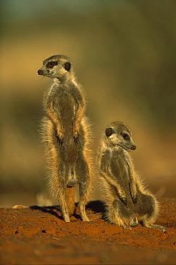 Meerkat (Suricata suricatta) pair, Tswalu Kalahari Reserve, South Africa  -  Richard Du Toit