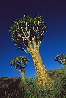 Kokerboom Tree (Quiver tree), Kokerboom Forest, Namibia  -  Richard Du Toit