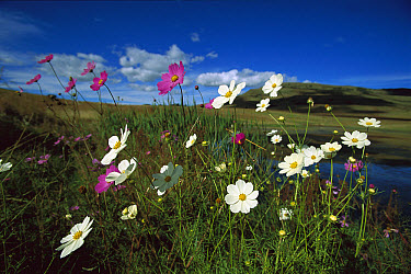 Garden Cosmos (Cosmos bipinnatus), Mpumalanga Highveld, South Africa  -  Richard Du Toit