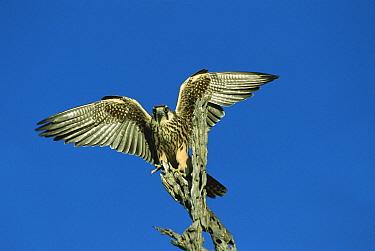 Lanner Falcon (Falco biarmicus) with wings spread, summer, Chobe National Park, Botswana  -  Richard Du Toit