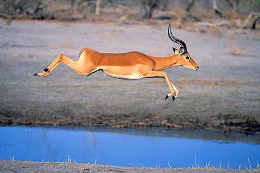 Impala (Aepyceros melampus) jumping, Moremi Wildlife Reserve, Botswana