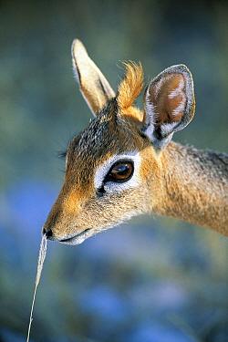 Kirk's Dik-dik (Madoqua kirkii) profile, side view, Etosha National Park, Namibia
