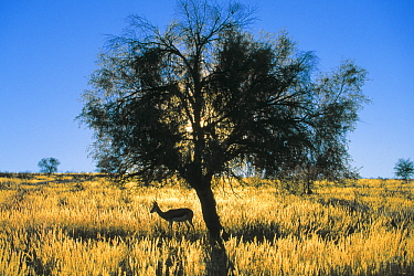 Springbok (Antidorcas marsupialis) grazing under tree, Kalahari Gemsbok Park, South Africa
