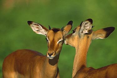 Impala (Aepyceros melampus) pair of females grooming, Chobe National Park, Botswana  -  Richard Du Toit