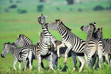 Burchell's Zebra (Equus burchellii) group fighting, Itala Game Reserve, South Africa