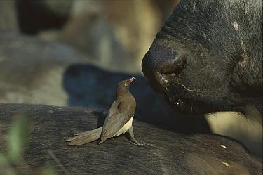 Red-billed Oxpecker (Buphagus erythrorhynchus) juvenile feeding on Cape Buffalo (Syncerus caffer) winter, Sabi Sand Game Reserve, South Africa  -  Richard Du Toit