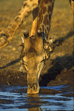 Southern Giraffe (Giraffa giraffa) with Yellow-billed Oxpeckers (Buphagus africanus), Khwai River, Botswana  -  Richard Du Toit