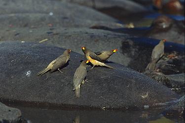 Yellow-billed Oxpecker (Buphagus africanus) small flock on Hippopotamus (Hippopotamus sp), Khwai River, Botswana  -  Richard Du Toit