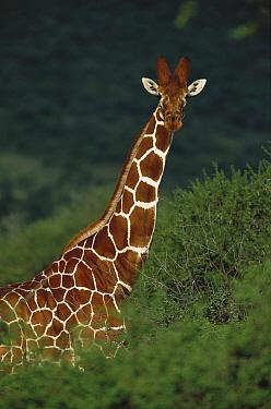 Reticulated Giraffe (Giraffa reticulata) alert adult, Laikipia, Kenya  -  Richard Du Toit