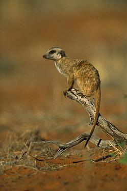 Meerkat (Suricata suricatta) on branch, Tswalu Kalahari Reserve, South Africa  -  Richard Du Toit