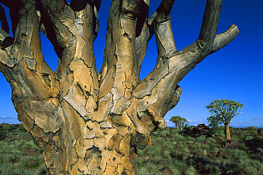 Quiver Tree (Aloe dichotoma) bark, Kokerboom Forest, Namibia  -  Richard Du Toit