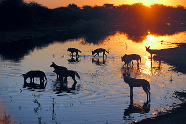 African Wild Dog (Lycaon pictus) group crossing river at dusk in winter, Moremi Wildlife Reserve, Botswana