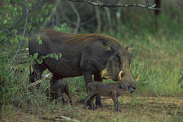 Warthog (Phacochoerus africanus) mother and piglet, Sabi Sand Game Reserve, South Africa  -  Richard Du Toit