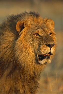 African Lion (Panthera leo) male, Moremi Wildlife Reserve, Botswana  -  Richard Du Toit