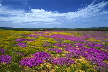 Rosea Ice Plant (Drosanthemum hispidum), Eastern Cape, South Africa  -  Richard Du Toit