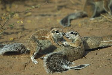 Cape Ground Squirrel (Xerus inauris) pair playing, Kgalagadi Transfrontier Park, South Africa  -  Richard Du Toit