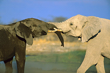 African Elephant (Loxodonta africana) two interacting with each other at water hole, Etosha National Park, Namibia  -  Richard Du Toit