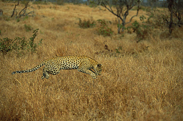 Leopard (Panthera pardus) adult pouncing on a Mouse in the grass, spring, Sabi-sands Game Reserve, South Africa  -  Richard Du Toit