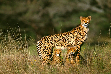 Cheetah (Acinonyx jubatus) alert female standing over her two three month old cubs, Phinda Game Reserve, South Africa