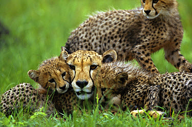 Cheetah (Acinonyx jubatus) adult female laying in the grass with her three month old cubs, summer, Phinda Game Reserve, South Africa  -  Richard Du Toit