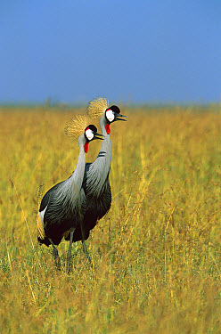 Grey Crowned Crane (Balearica regulorum) alert pair standing in tall grass, Masai Mara National Reserve, Kenya  -  Richard Du Toit