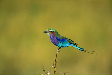 Lilac-breasted Roller (Coracias caudata) adult perching, Moremi Wildlife Reserve, Botswana  -  Richard Du Toit
