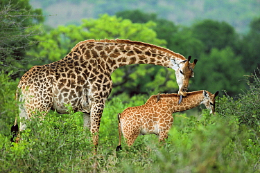 South African Giraffe (Giraffa giraffa giraffa) mother grooming her calf, Phinda Game Reserve, South Africa