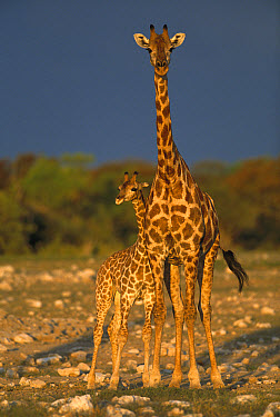 Angolan Giraffe (Giraffa giraffa angolensis) portrait of mother and calf, summer, Etosha National Park, Namibia  -  Richard Du Toit