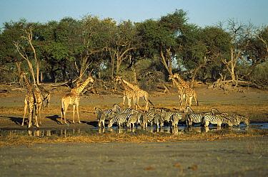 Southern Giraffe (Giraffa giraffa) and Burchell's Zebra (Equus burchellii) at water hole, Khwai River, Botswana  -  Richard Du Toit