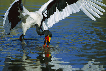 Saddle-billed Stork (Ephippiorhynchus senegalensis) catching fish, Moremi Wildlife Reserve, Botswana  -  Richard Du Toit